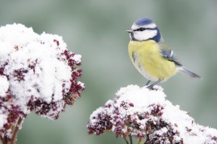 sedum in winter attracts birds