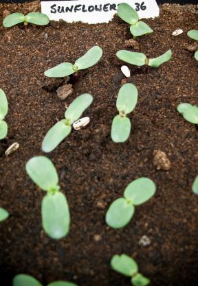 Sunflower seedlings germinating
