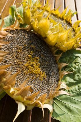 Sunflower heads drying