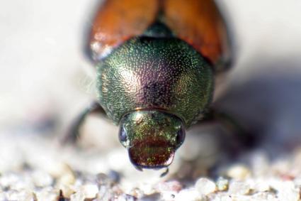 Japanese beetle closeup; Copyright Edthehead123 at Dreamstime.com