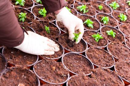 Potting seedlings