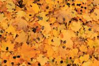 Tar spot on dead leaves
