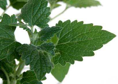 Catnip leaves closeup