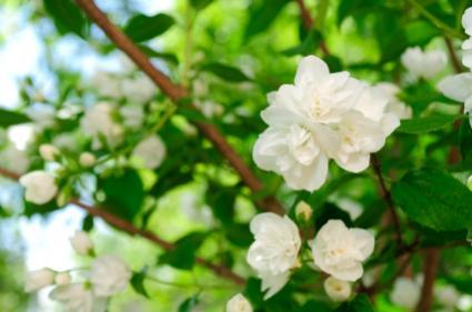Jasmine blooms