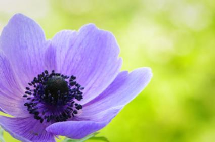 Purple anemone poppy