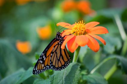 Butterfly feeding on a zinnia