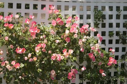 wild rose on white trellis
