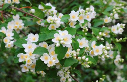 Fragrant White Flower Bush