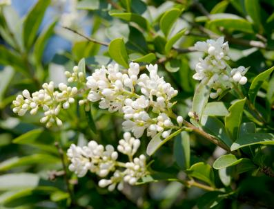 Green Bush With Small Purple Flowers