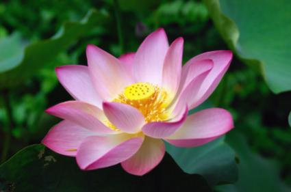 Single lotus flower close-up