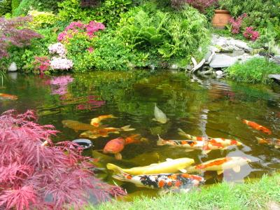 Plants for koi ponds lovetoknow for Pond with plants