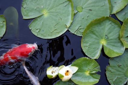 koi with lily pads