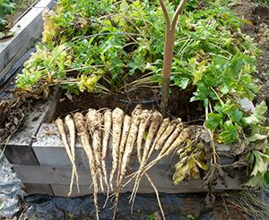 Parsnips grown in a raised bed from Good Wood
