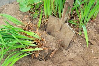 Dividing plant clumps