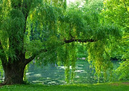 Willow tree over water