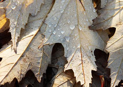 Silver maple leaf undersides