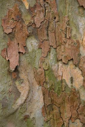exfoliating sycamore bark