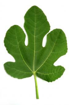 healthy fig leaf