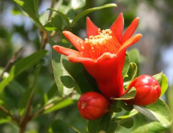 pomegranate flower and buds