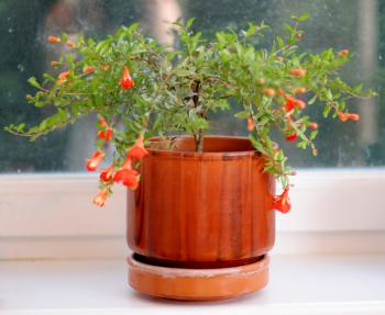 pomegranate in pot