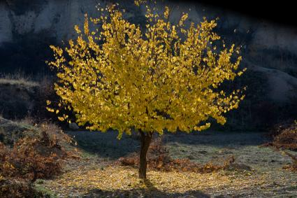 Apricot Tree With Yellow Fall Foliage