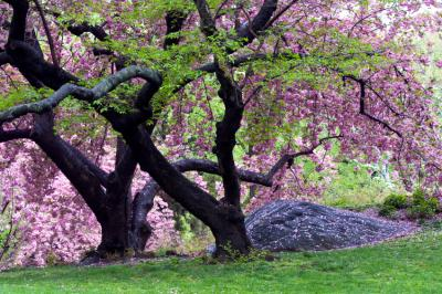 old cherry trees in weeping form