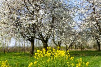 Cherry trees with yellow flowering understory