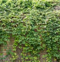 hops growing on a sunny wall