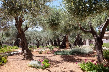 group of olive trees