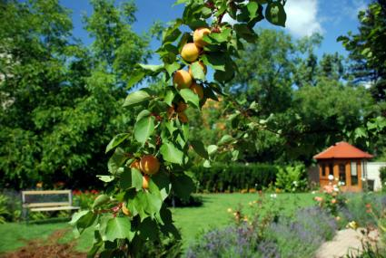 Apricots in Garden
