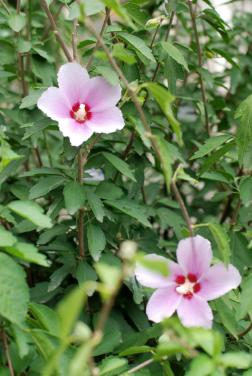 pink rose of sharon shrub