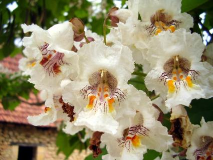 close up of catalpa flowers