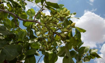 pistachio branch and cluster of nuts