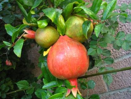 Wonderful Variety Pomegranate