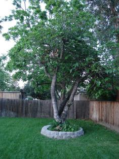 176884 235x313 Fig Tree in Landscaping
