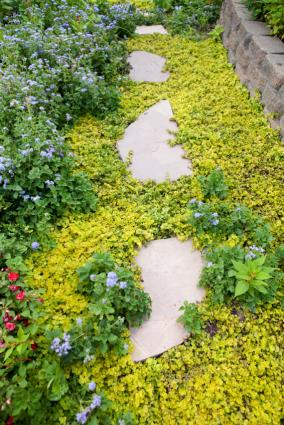 pathway planted with creeping jenny
