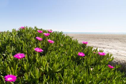 Guide to garden groundcovers ice plant with pink flowers mightylinksfo