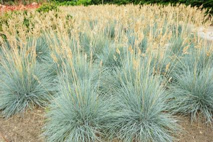 planting of blue fescue