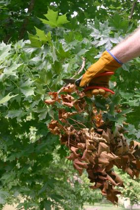 pruning diseased wood