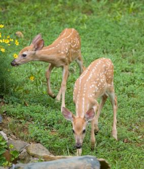 fawns browsing in the garden