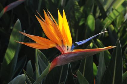 bird of paradise amid foliage