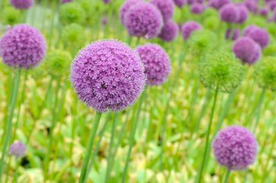 Giant Allium Pom-poms