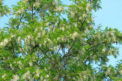 Black Locust Tree