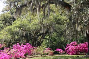oaks and azaleas