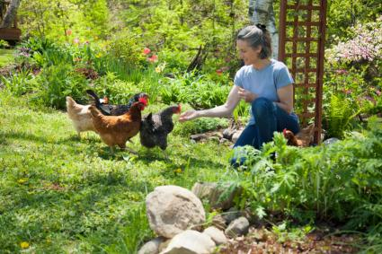 food garden with chickens