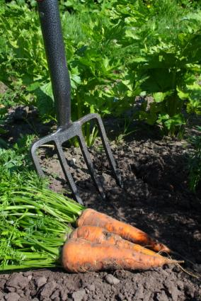 digging fork and carrots