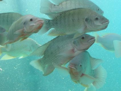 Nile tilapia in aquaponics system