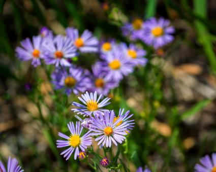 close up of asters