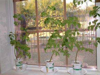 starting tomatoes indoors