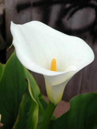 single calla blossom